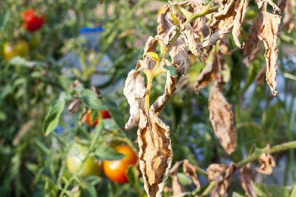 agriculteurs-:-mieux-lutter-contre-le-virus-de-la-tomate-en-2022